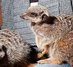 Meet the Meerkats for Two in Shropshire - Was £49, With Code £39.20